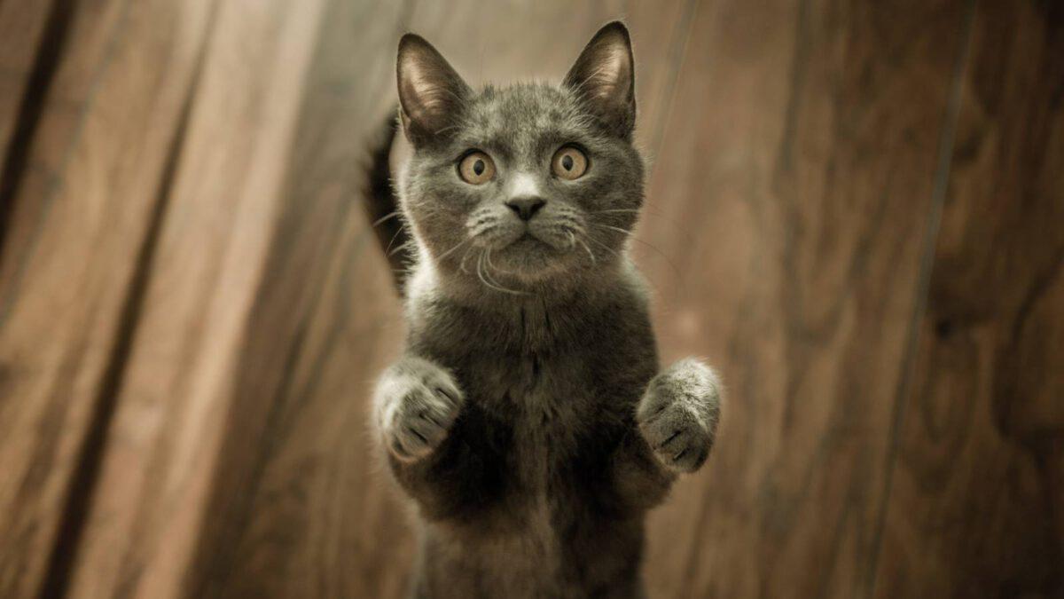 K čemu je dobrá šanta kočičí (catnip) #021