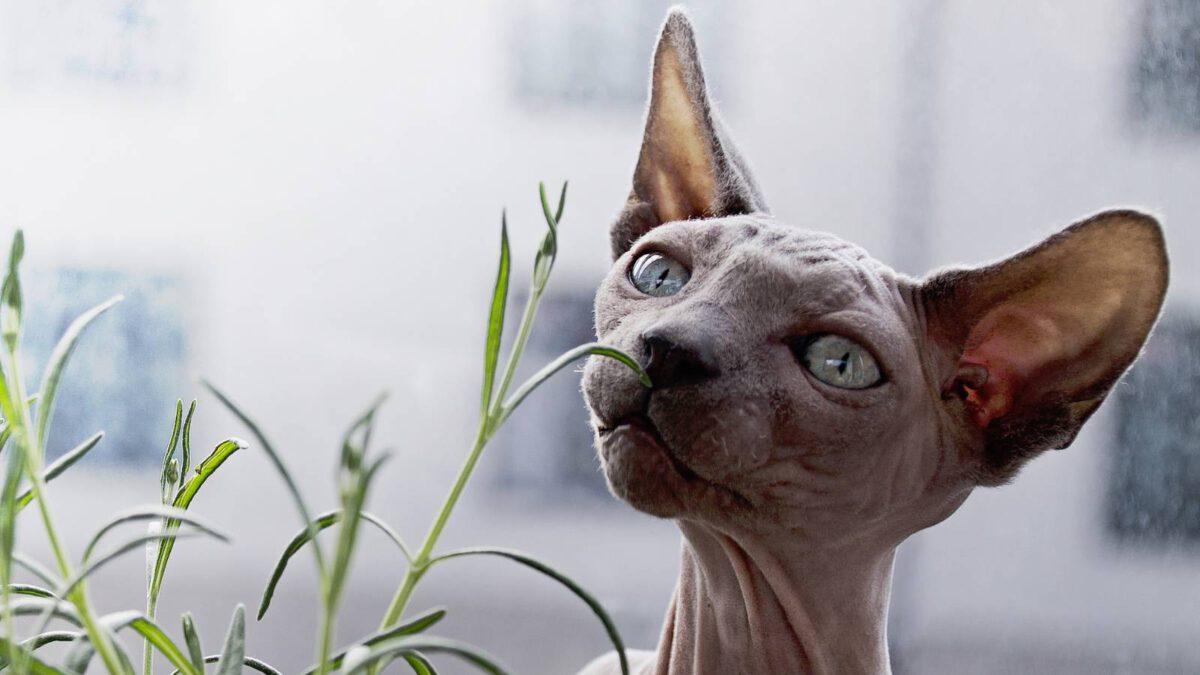 Prostě kočku nebo nějaké čistokrevné plemeno? #073